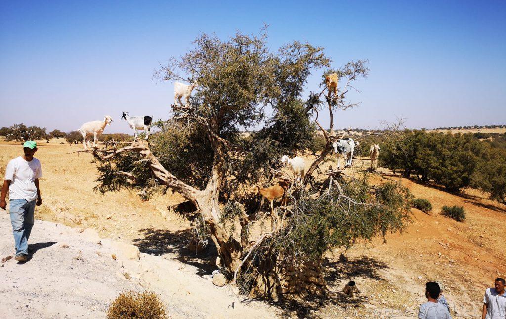 cabras arbol argan marruecos